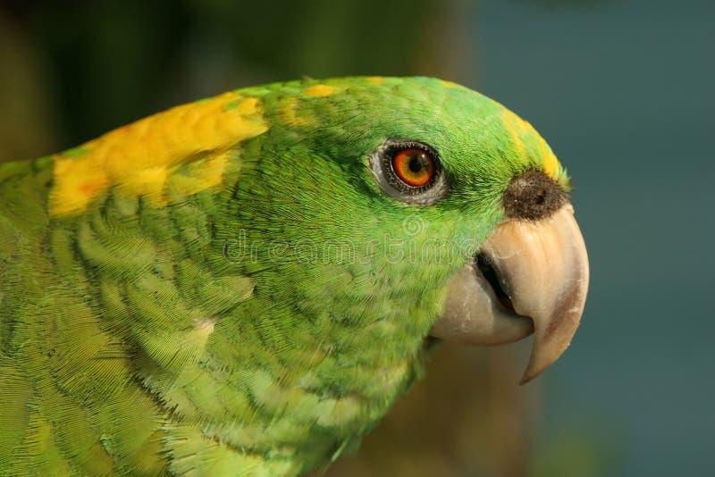 Gelber-naped Papagei lizenzfreie stockfotografie