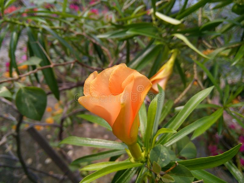 Gelber Oleander Blume lizenzfreies stockfoto