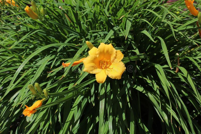 Gelber Oleander stockfotos