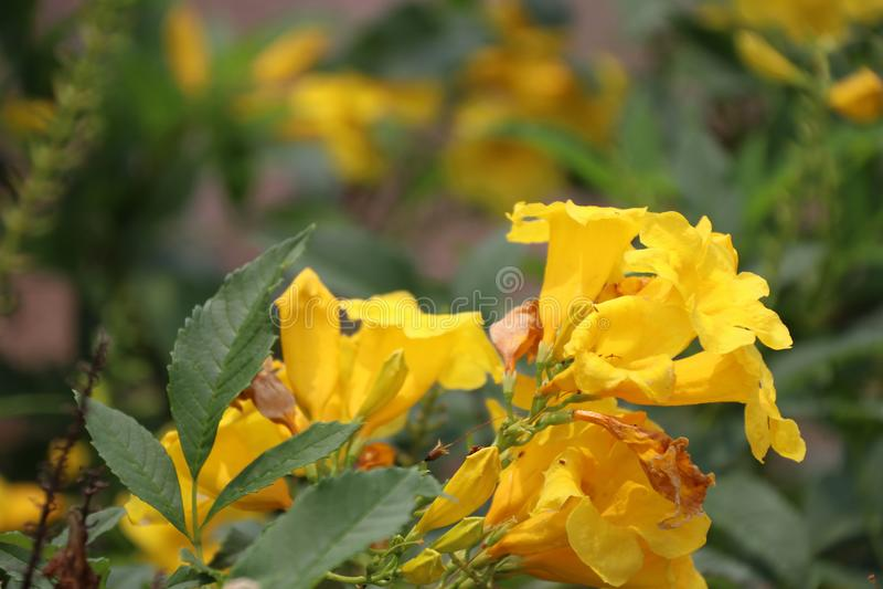 Gelber Oleander oder Cascabela-Thevetia auf dem Baum lizenzfreies stockbild