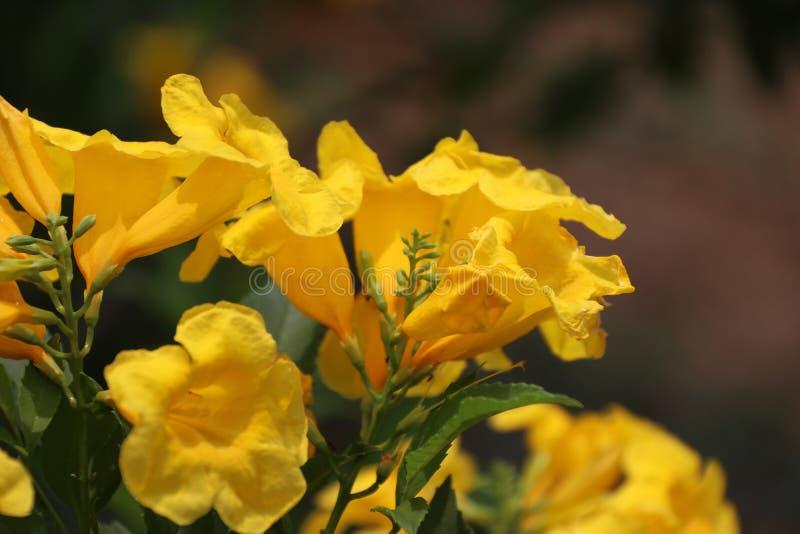 Gelber Oleander oder Cascabela-Thevetia auf dem Baum lizenzfreie stockbilder
