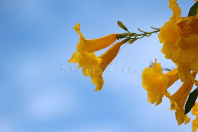 Gelber Oleander oder glückliche Nuss auf der Niederlassung des Baums stockbilder