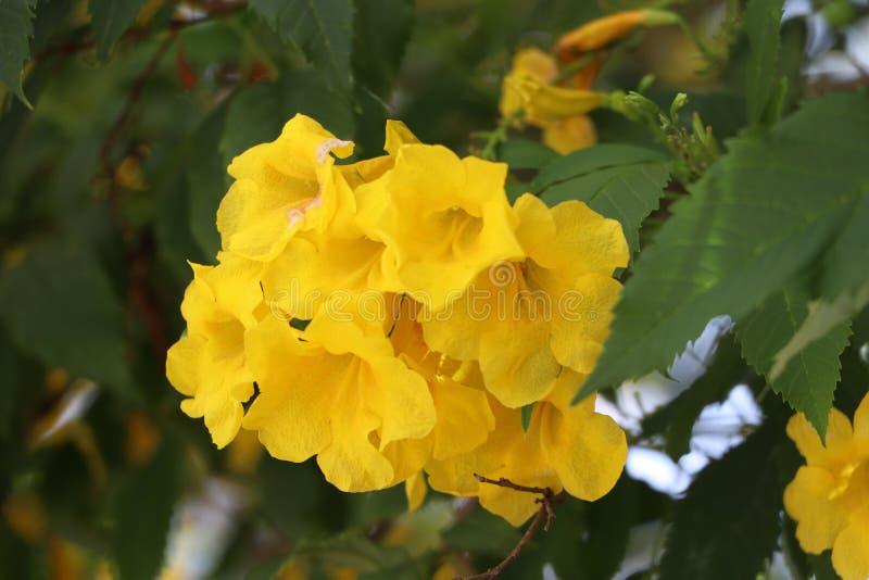 Gelber Oleander oder glückliche Nuss auf der Niederlassung des Baums lizenzfreie stockfotos