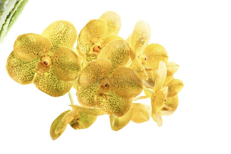 Gelber Orchideenblumen-Weißhintergrund lizenzfreie stockfotos