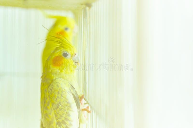 Gelber Papagei Corella lizenzfreie stockfotografie
