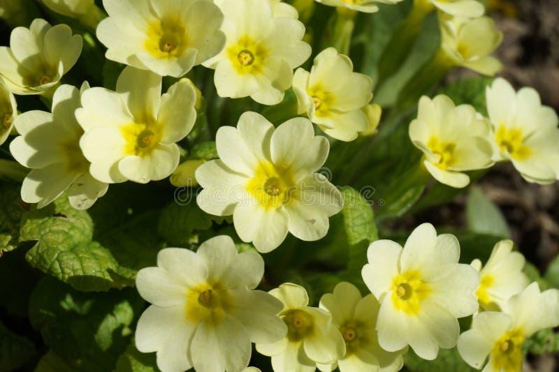 Gelber Primula lizenzfreies stockbild