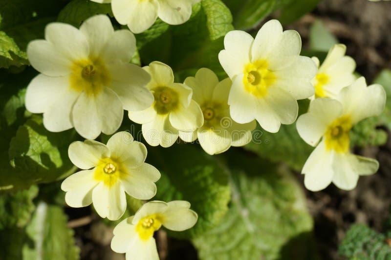 Gelber Primula stockfotografie
