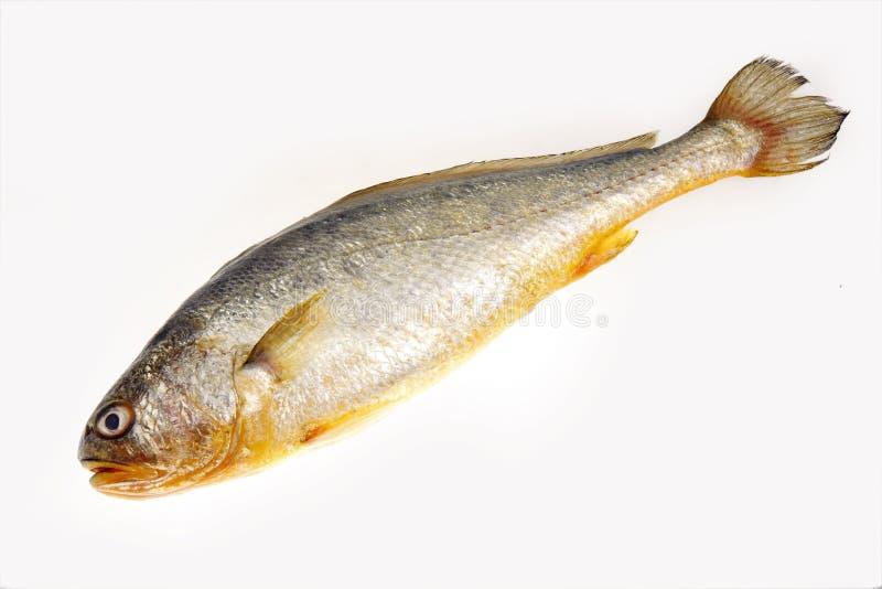Gelber Quakfisch stockfotos