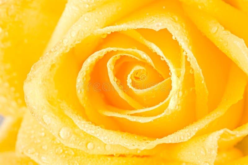 Gelber Rosebud stockbilder