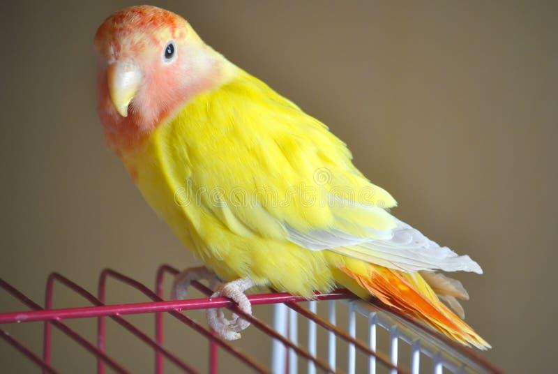 Gelber rosig-gesichtiger Wellensittichpapagei stockbilder