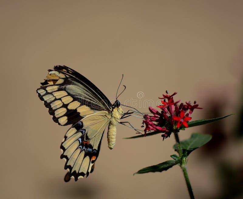 gelber Schmetterling stockfoto