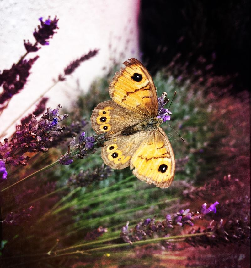 gelber Schmetterling stockbild
