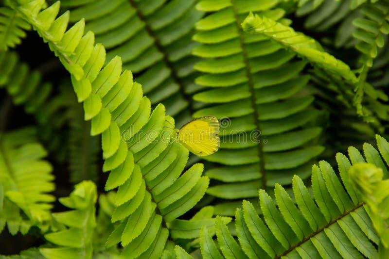 Gelber Schmetterling auf Farnbl?ttern lizenzfreie stockbilder