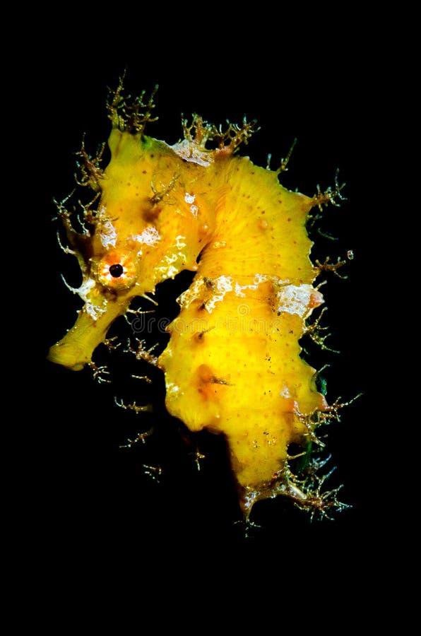 Gelber Seahorse, Hippokamp hipocampus lizenzfreie stockfotografie