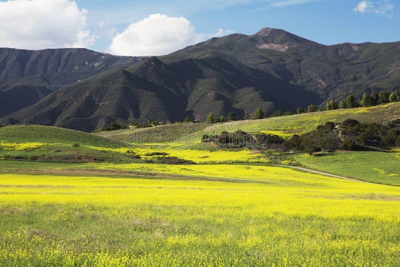 Gelber Senf und Berge, oberes Ojai Kalifornien, USA lizenzfreies stockfoto