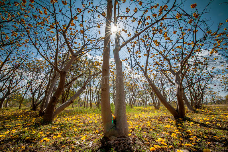 Gelber Silk Baumwollbaum, gelbe Blume oder Torchwood in Thailand lizenzfreie stockbilder