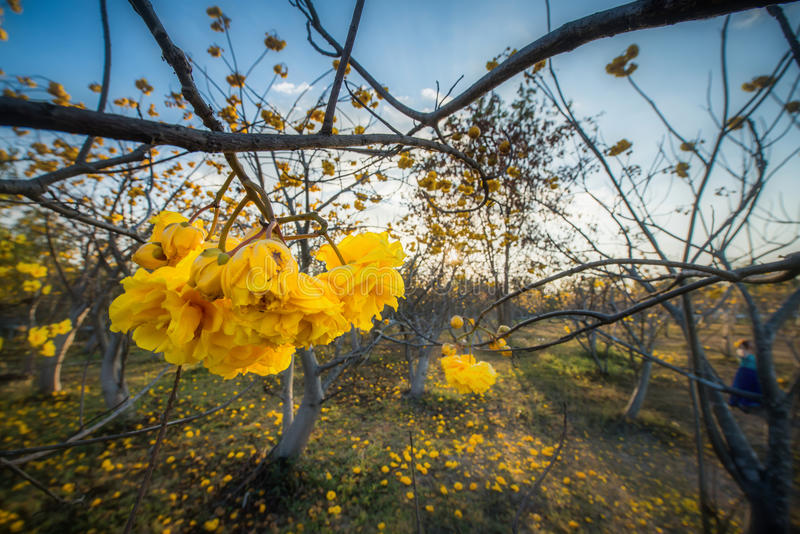 Gelber Silk Baumwollbaum, gelbe Blume oder Torchwood in Thailand lizenzfreies stockfoto