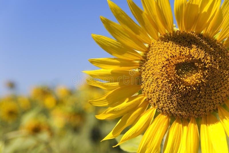 Gelber Sommer stockfotos
