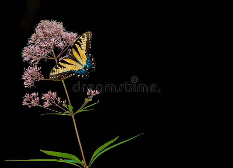 Gelber swordtail Schmetterling auf einer Anlage mit kleinen Blumen mit einem schwarzen Hintergrund lizenzfreie stockfotos