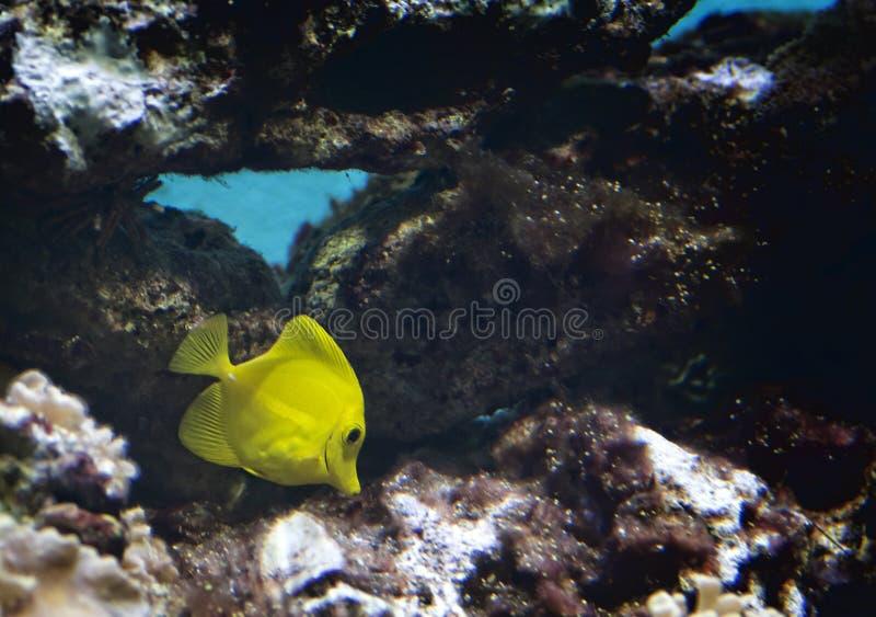 Gelber Tang Tropical Fish lizenzfreie stockbilder