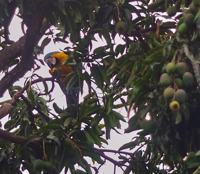 Gelber und blau-brauner Papagei mitten in einem Wald stockbilder