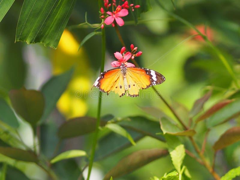 Gelber und orange Farbeschmetterling auf dem roten Blume Blurredof-Naturhintergrund stockfotos