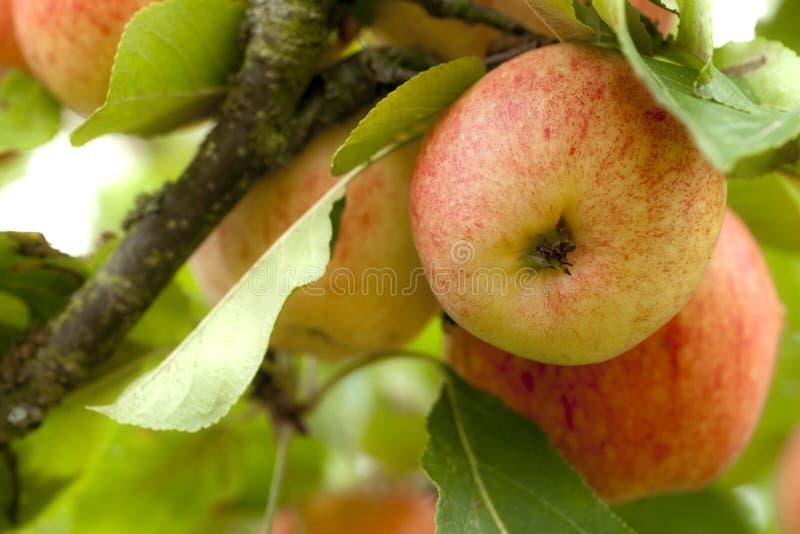 Gelber und roter Apfel auf einem Baum im Obstgarten stockfoto