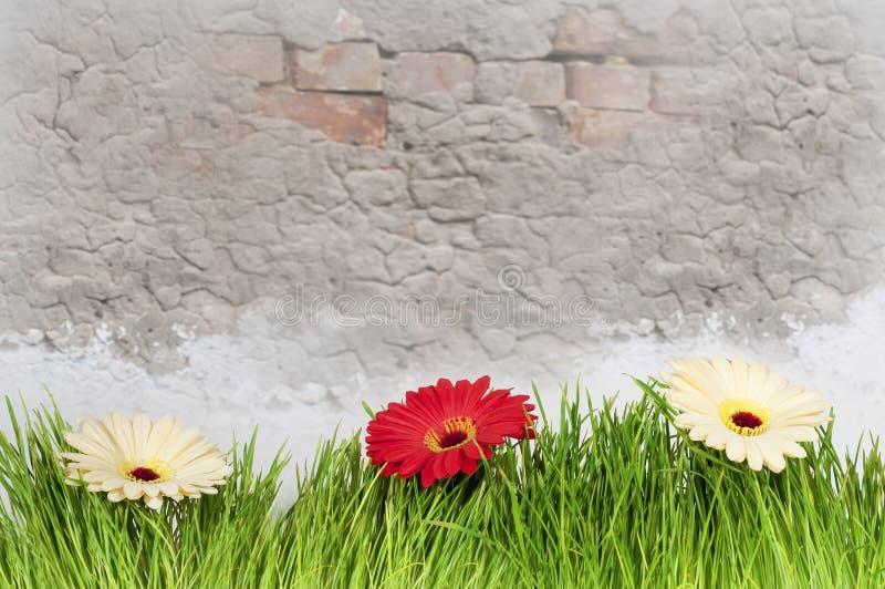 Gelber und roter Gerbera blüht gegen den Wandhintergrund stockbild