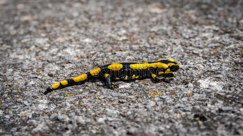Gelber und schwarzer Salamander auf dem Felsen stockfoto