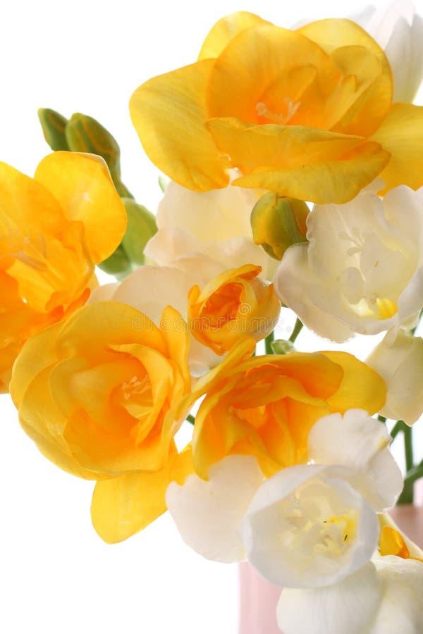 Gelber und weißer Freesia lizenzfreies stockbild