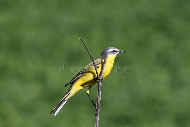 Gelber Vogel, der auf einer Niederlassung auf einem grünen Hintergrund sitzt stockfoto