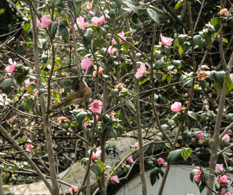 Gelber Vogel, der auf Magnolienbaum sitzt stockfoto