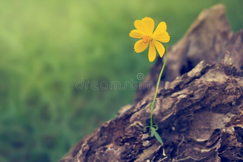 Gelber Zierpflanzenbau auf Bauholz im Naturhintergrund lizenzfreie stockfotos