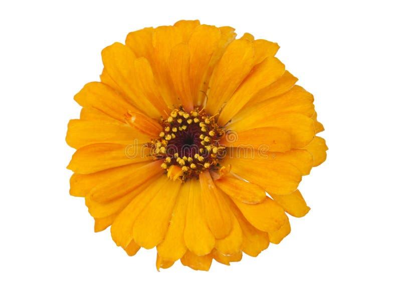 Download Gelber Zinnia getrennt stockfoto. Bild von floral, kopf - 27729350