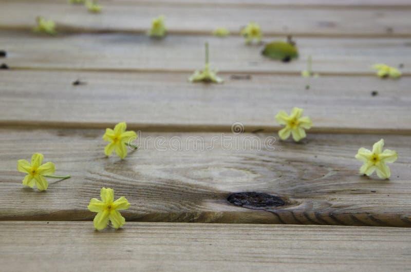 Gelber Zwerg Mussaenda-Blüten auf hölzernen Dielen nach Regensturm stockfotos