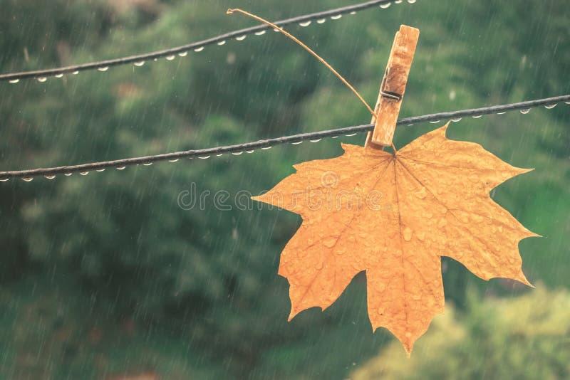 Gelbes Ahornblatt im Regen Herbst gefallenes Blatt auf einer Wäscheklammer auf einer Wäscheklammer wird unter einem Regen naß lizenzfreie stockfotos
