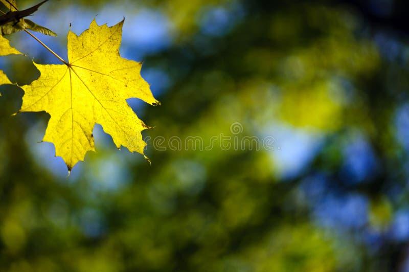 Gelbes Ahornholzfallblatt stockfotos