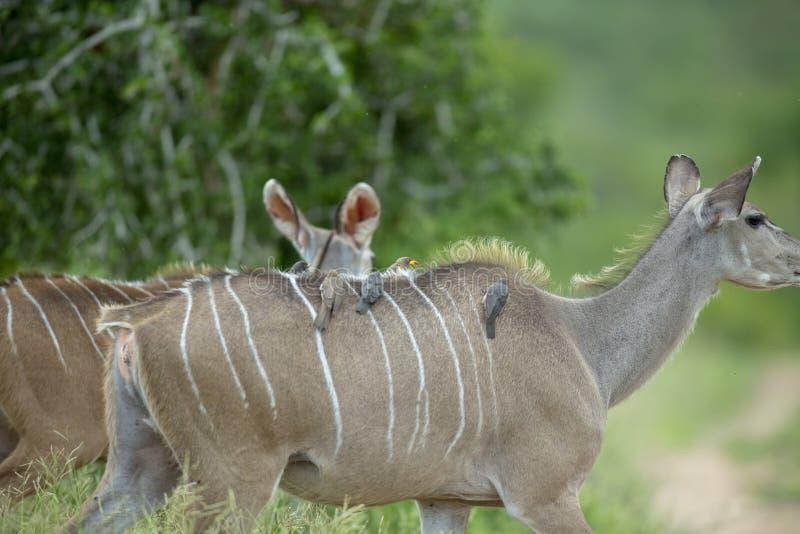 Gelbes berechnet sowie rote berechnete oxpeckers auf kudu Kuh lizenzfreie stockbilder