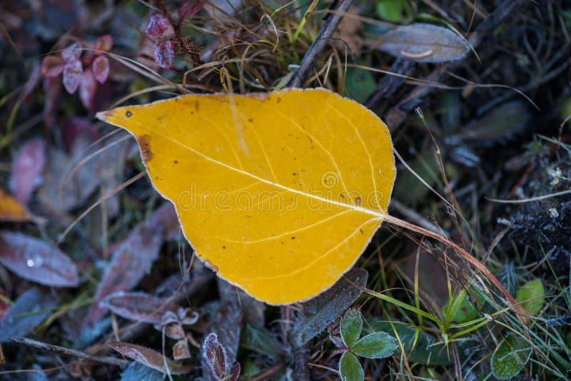 Gelbes bereiftes Pappel-Blatt - Stillleben stockbild