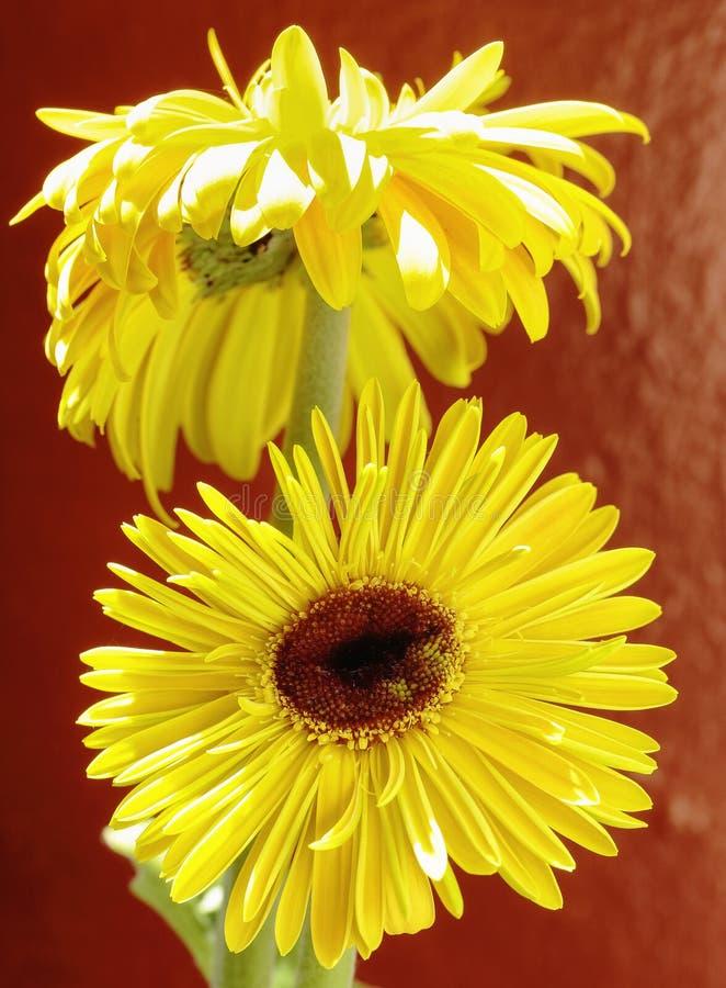 Gelbes Blühen von Gerberablumen stockbild