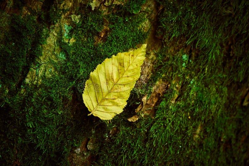 Gelbes Blatt, das auf einem Baum bedeckt mit Moos liegt stockfotos