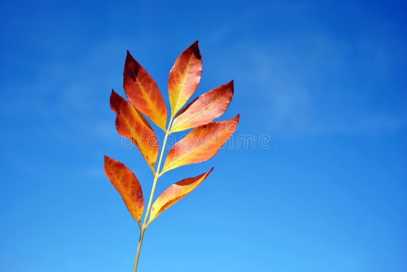 Gelbes Blatt des Fraxinus europäische Aschauf hellem blauem Himmel stockbilder