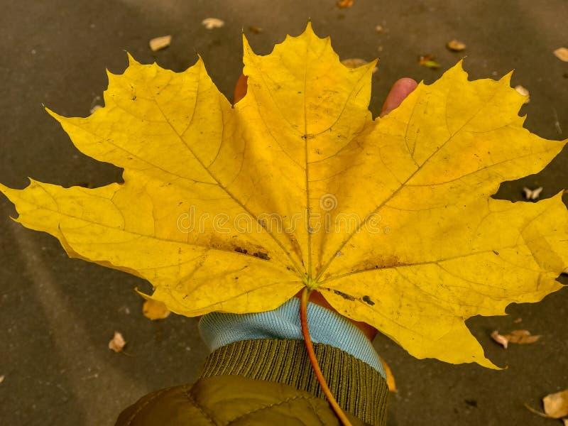Gelbes Blatt des großen Herbstes auf Frauenhandhintergrund lizenzfreie stockbilder