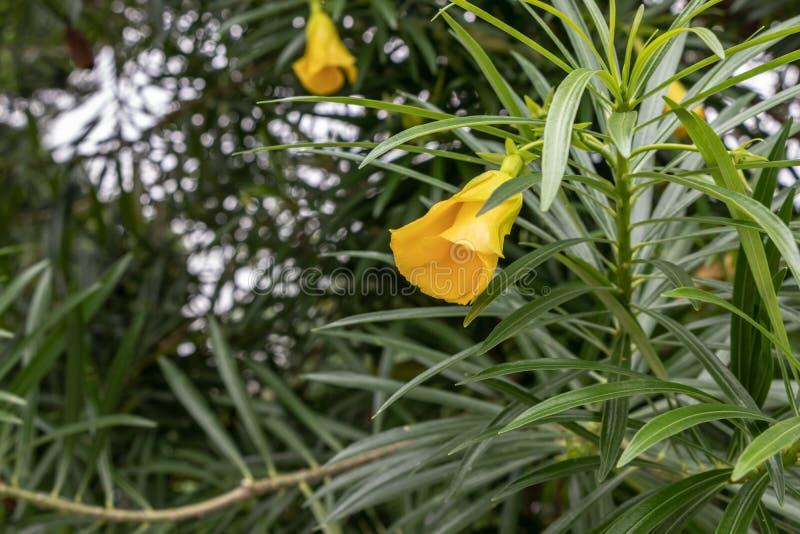 Gelbes Blume Impatiens-Kap, ungeöffnete Knospe Grüne Blätter sind, Nahaufnahme lang lizenzfreie stockbilder
