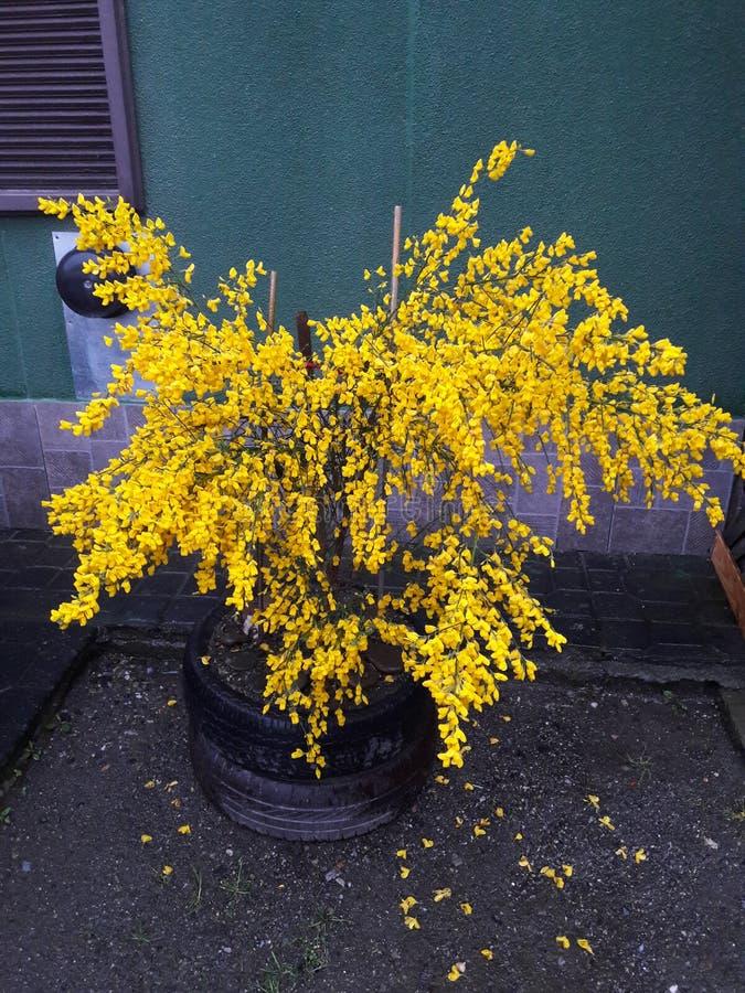 Gelbes Blume ushuaia lizenzfreie stockfotos