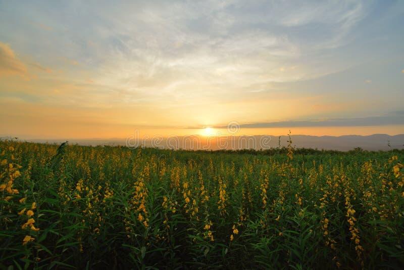 Gelbes Blumen-Feld stockfotos
