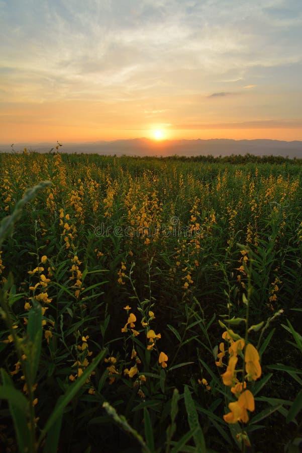Gelbes Blumen-Feld stockbild