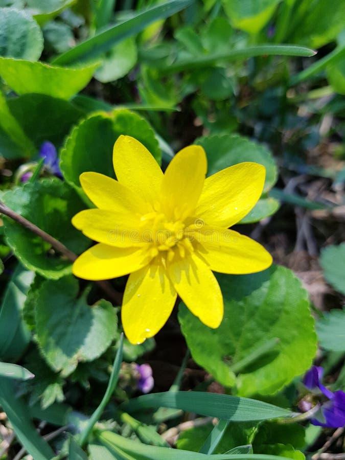 Gelbes Blumen Ficaria-verna, mit gr?nen Bl?ttern am Fr?hling Erste gelbe Fr?hlingsblumen stockbild