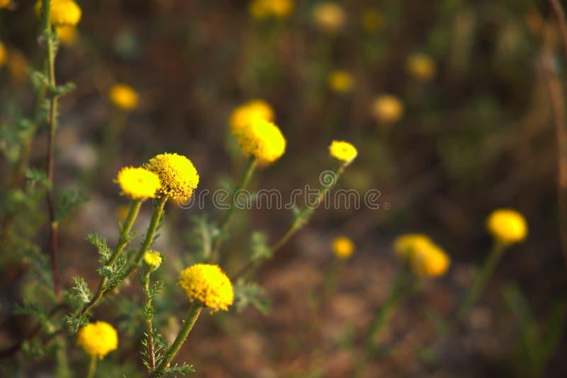 Gelbes Blumenfeld-Nahaufnahme bokeh lizenzfreies stockbild
