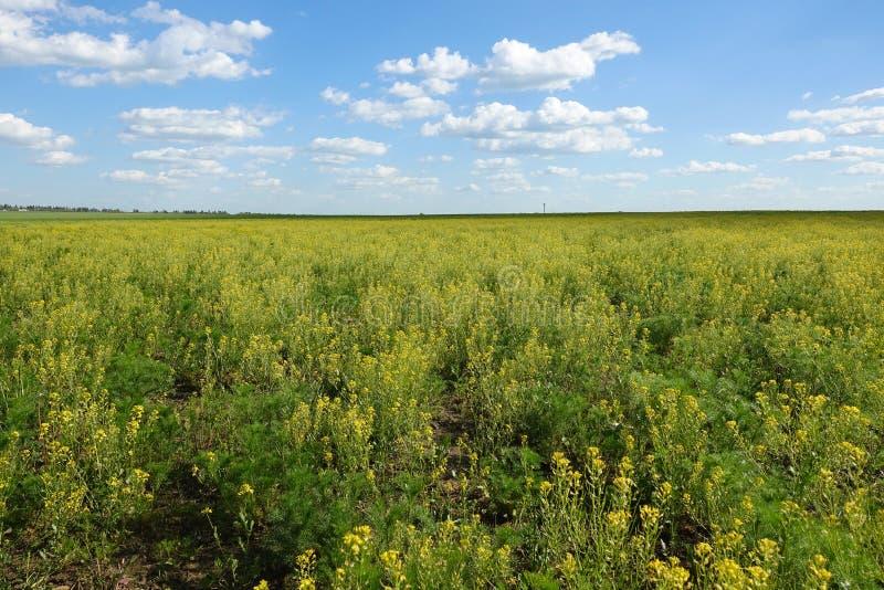 Gelbes Blumenfeld unter blauem bew?lktem Himmel lizenzfreie stockfotografie